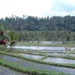 Bali - Terase orezarii